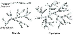 starch-glycogen