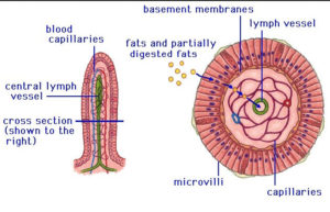 Villi-and-lymph